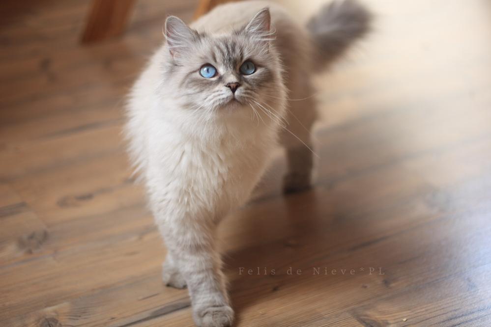 Rossia Snejnaya Zima*RU kotka syberyjska neva masquerade nem a 21