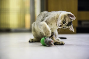 kocia zabawa, kot jest złośliwy, kot jest wredny, behawior kota, problem z kotem