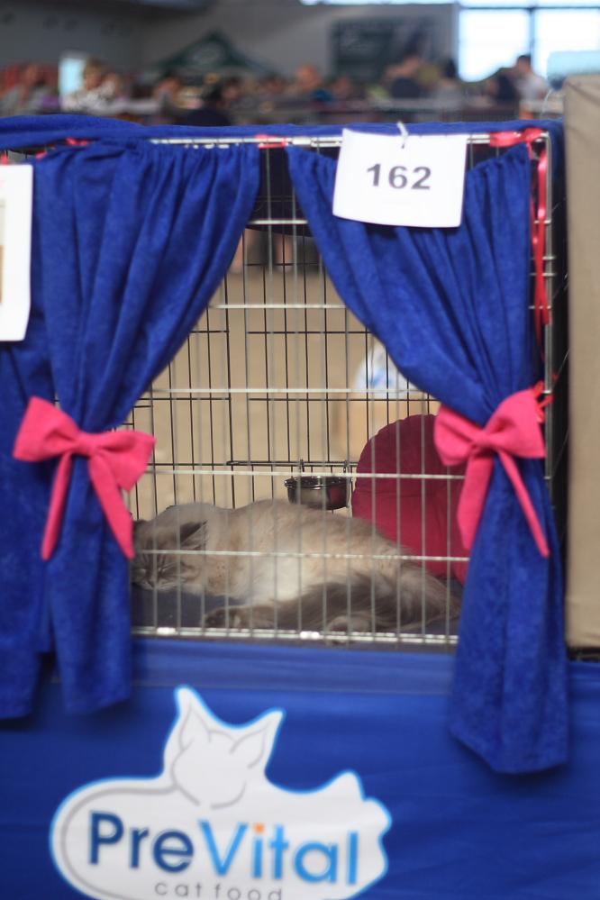 Kot śpiący na wystawie kotów rasowych w Sopocie